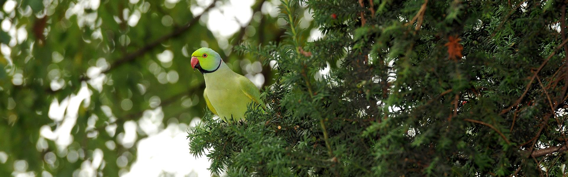 Population-of-refugee-parrots-increases