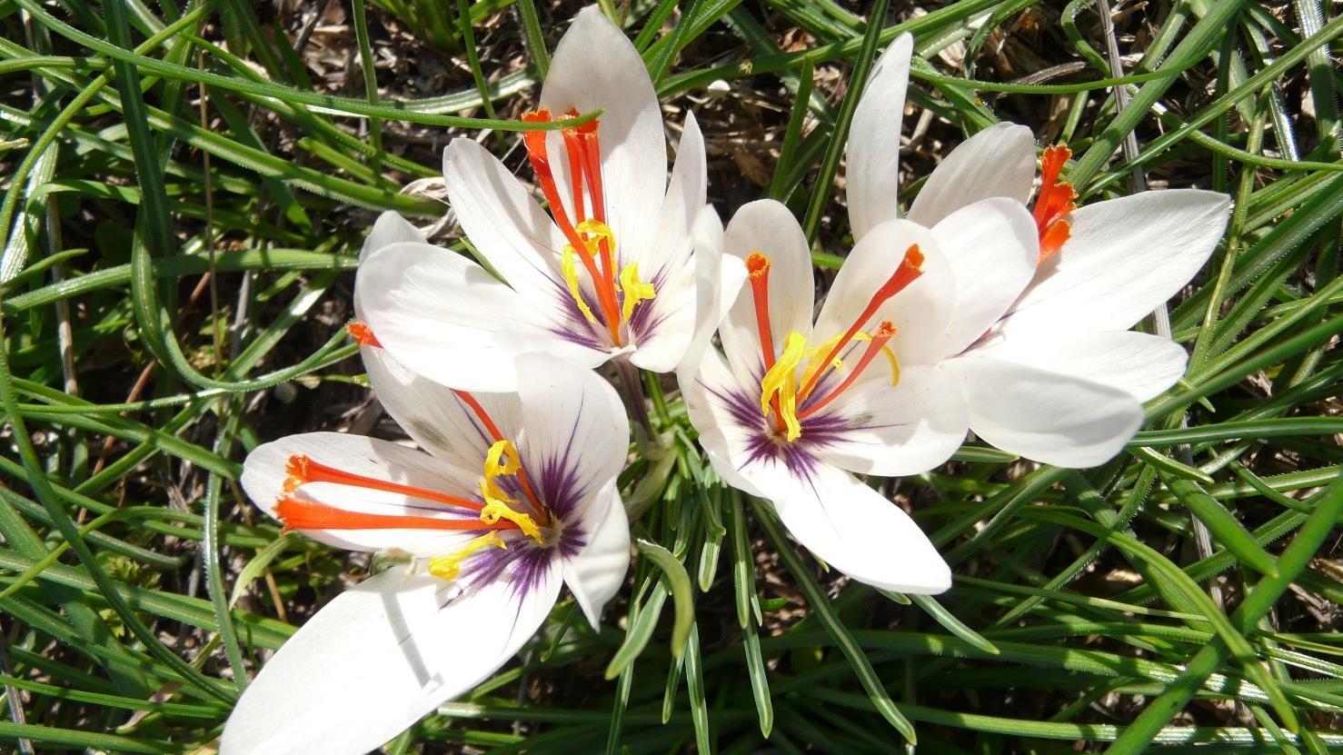 saffron biology